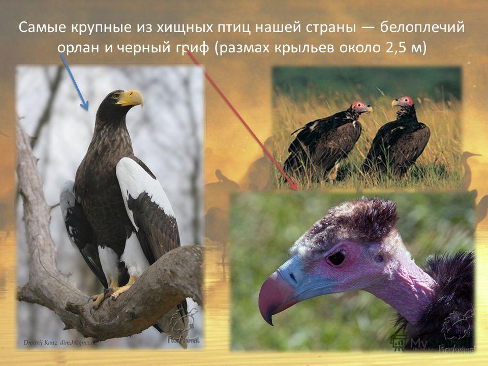 Самые крупные из хищных птиц нашей страны белоплечий орлан и черный гриф (размах крыльев около 2,5 м)