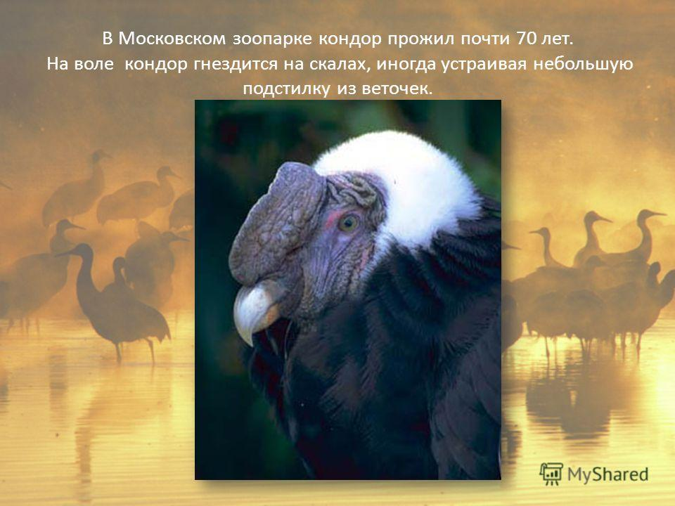 В Московском зоопарке кондор прожил почти 70 лет. На воле кондор гнездится на скалах, иногда устраивая небольшую подстилку из веточек.