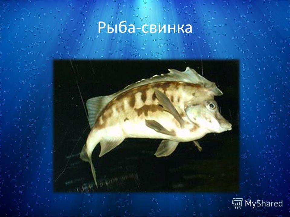 Рыба-свинка