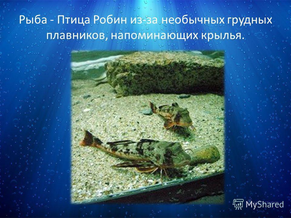 Рыба - Птица Робин из-за необычных грудных плавников, напоминающих крылья.