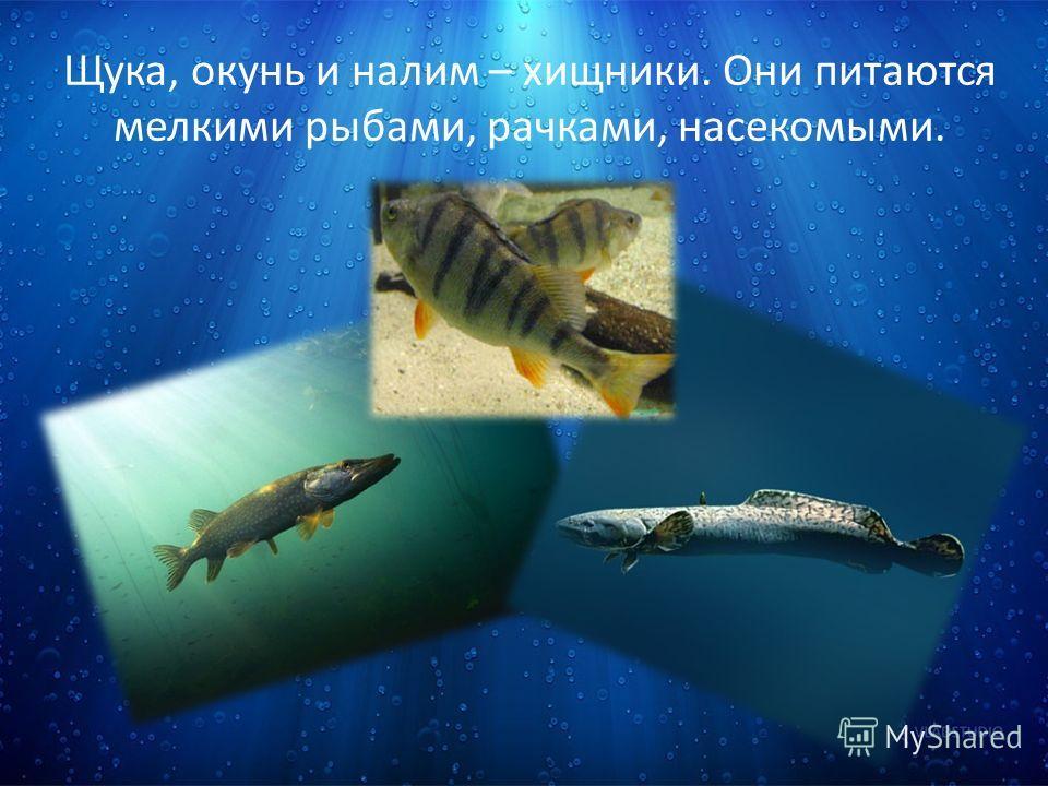 Щука, окунь и налим – хищники. Они питаются мелкими рыбами, рачками, насекомыми.