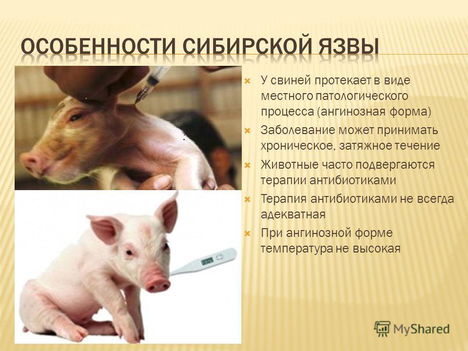 У свиней протекает в виде местного патологического процесса (ангинозная форма) Заболевание может принимать хроническое, затяжное течение Животные часто подвергаются терапии антибиотиками Терапия антибиотиками не всегда адекватная При ангинозной форме