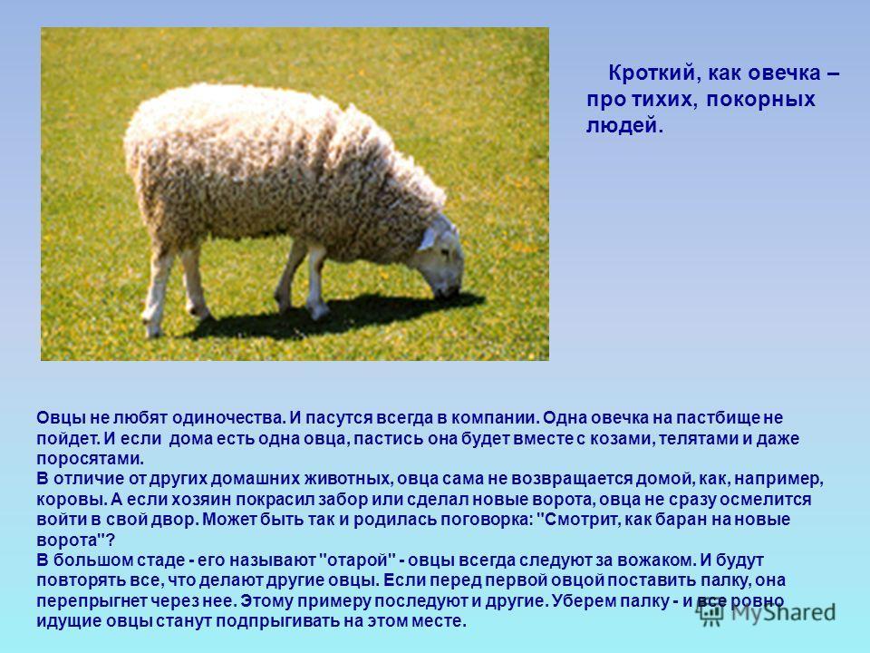 Овцы не любят одиночества. И пасутся всегда в компании. Одна овечка на пастбище не пойдет. И если дома есть одна овца, пастись она будет вместе с козами, телятами и даже поросятами. В отличие от других домашних животных, овца сама не возвращается дом