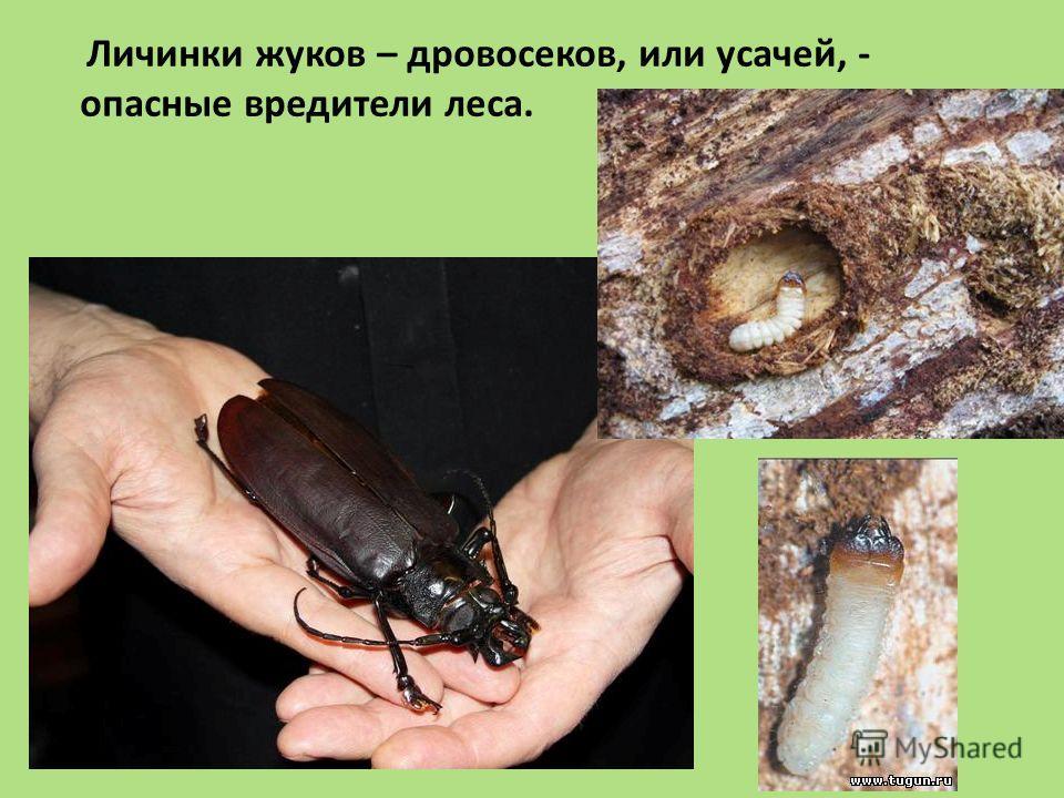 Личинки жуков – дровосеков, или усачей, - опасные вредители леса.