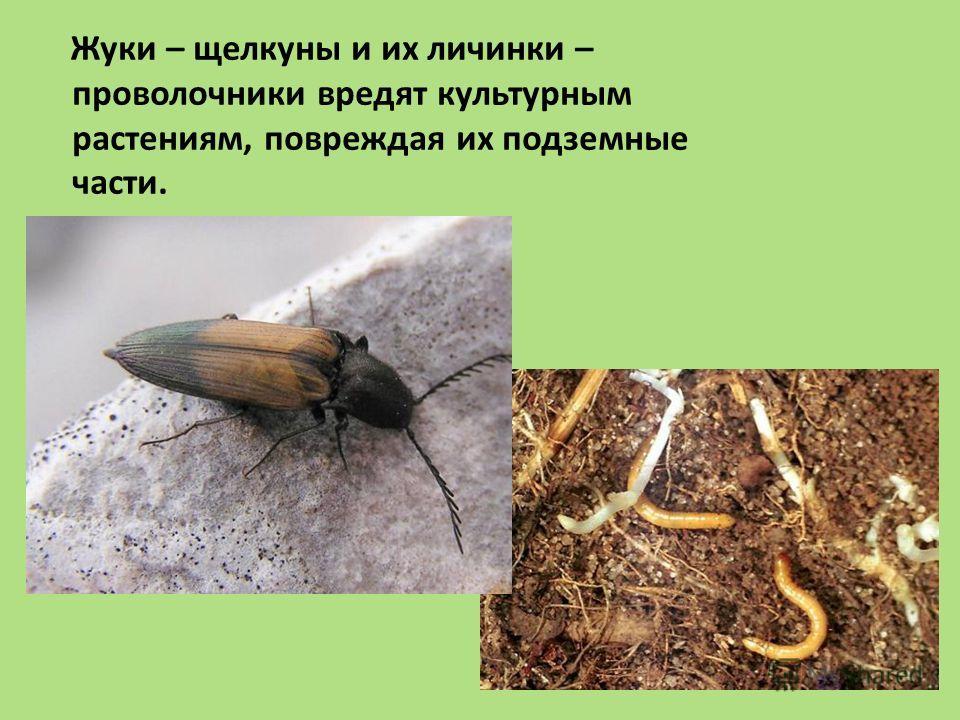 Жуки – щелкуны и их личинки – проволочники вредят культурным растениям, повреждая их подземные части.