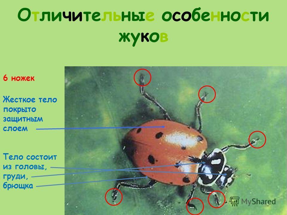 Отличительные особенности жуков 6 ножек Жесткое тело покрыто защитным слоем Тело состоит из головы, груди, брющка