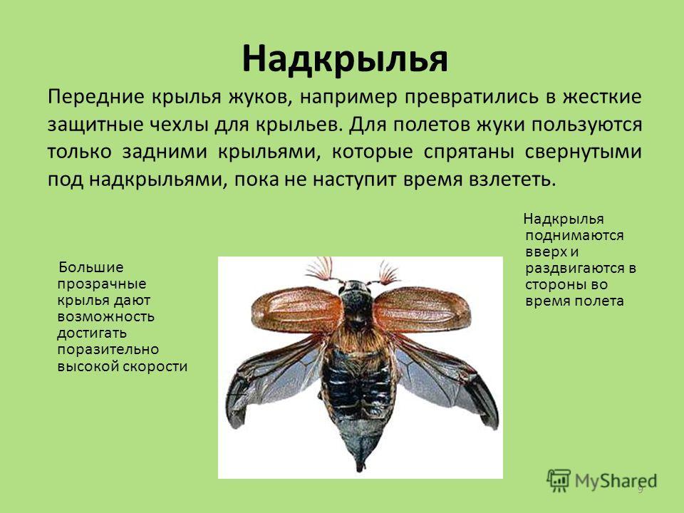 9 Надкрылья Передние крылья жуков, например превратились в жесткие защитные чехлы для крыльев. Для полетов жуки пользуются только задними крыльями, которые спрятаны свернутыми под надкрыльями, пока не наступит время взлететь. Большие прозрачные крыль