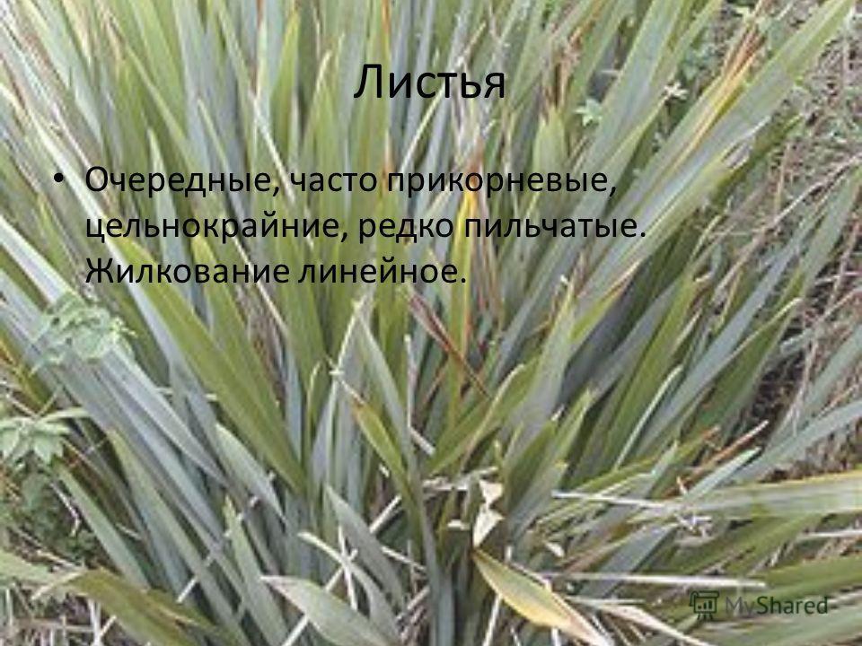 Листья Очередные, часто прикорневые, цельнокрайние, редко пильчатые. Жилкование линейное.