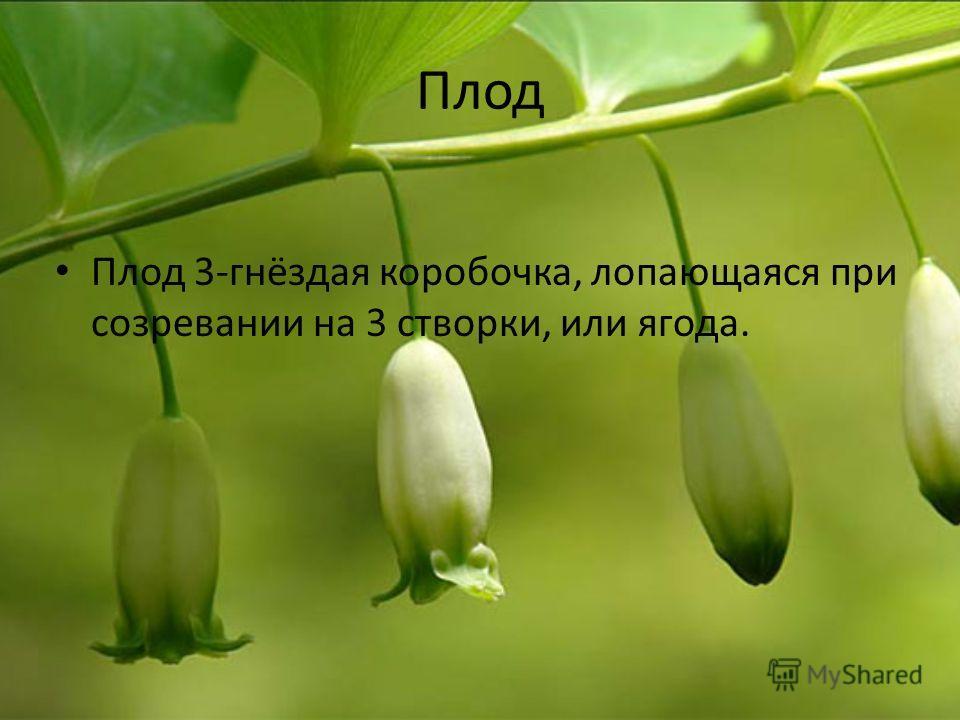 Плод Плод 3-гнёздая коробочка, лопающаяся при созревании на 3 створки, или ягода.