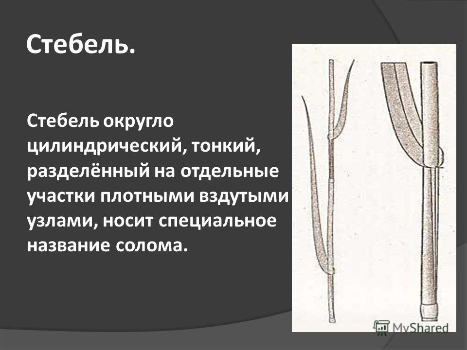 Стебель. Стебель округло цилиндрический, тонкий, разделённый на отдельные участки плотными вздутыми узлами, носит специальное название солома.