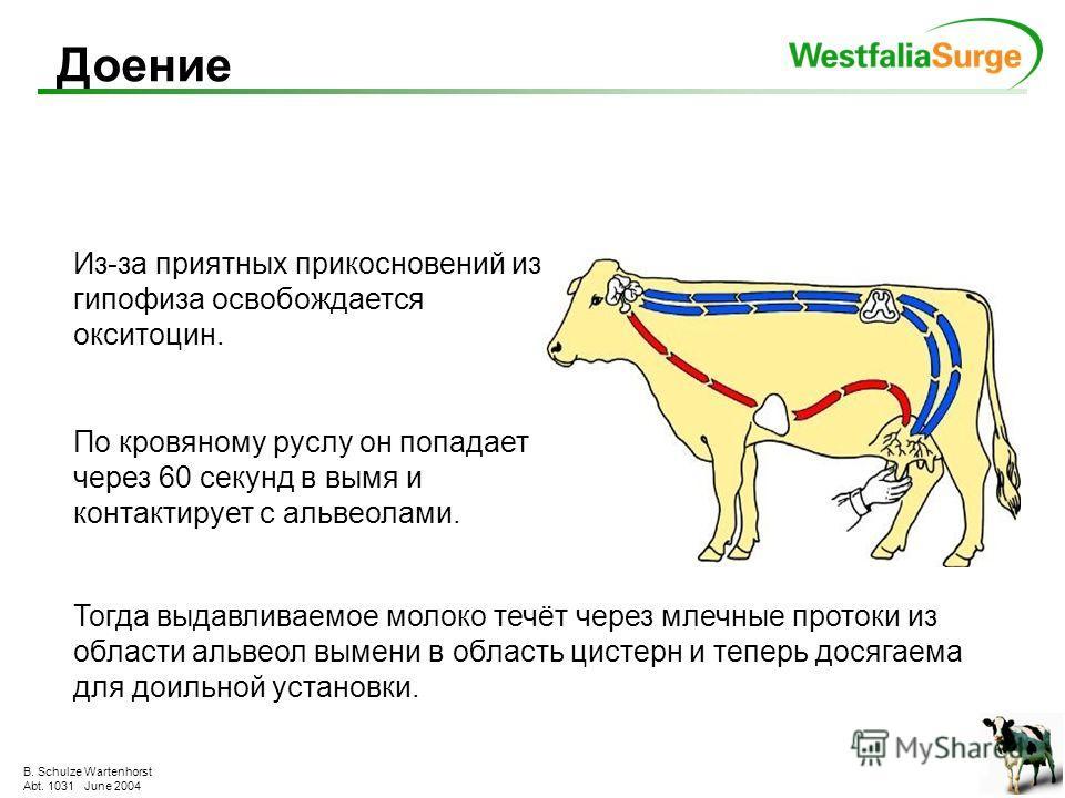 B. Schulze Wartenhorst Abt. 1031 June 2004 Происходит непрерывно и круглосуточно для выработки 1 литра молока через вымя должно пройти 500 л крови регулярное и полное опорожнение вымени стимулирует выработку молока и повышает удои Выработка молока