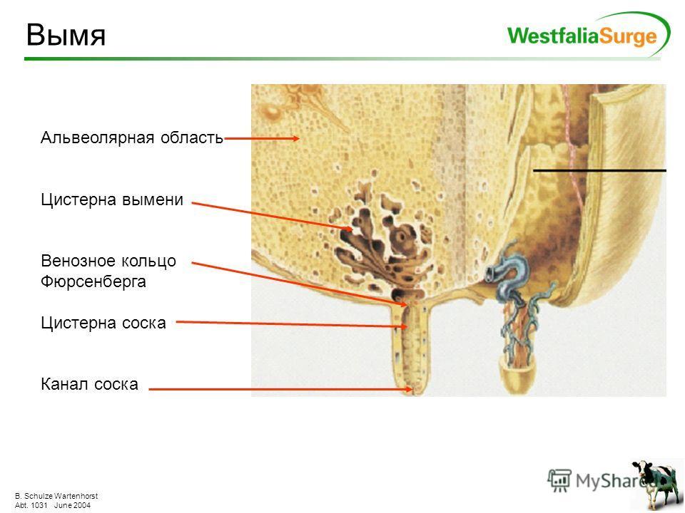 B. Schulze Wartenhorst Abt. 1031 June 2004 Из-за приятных прикосновений из гипофиза освобождается окситоцин. По кровяному руслу он попадает через 60 секунд в вымя и контактирует с альвеолами. Тогда выдавливаемое молоко течёт через млечные протоки из