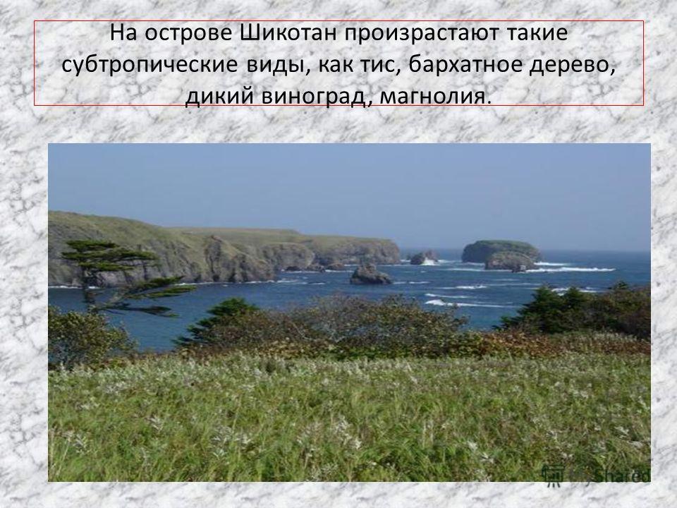 На острове Шикотан произрастают такие субтропические виды, как тис, бархатное дерево, дикий виноград, магнолия.