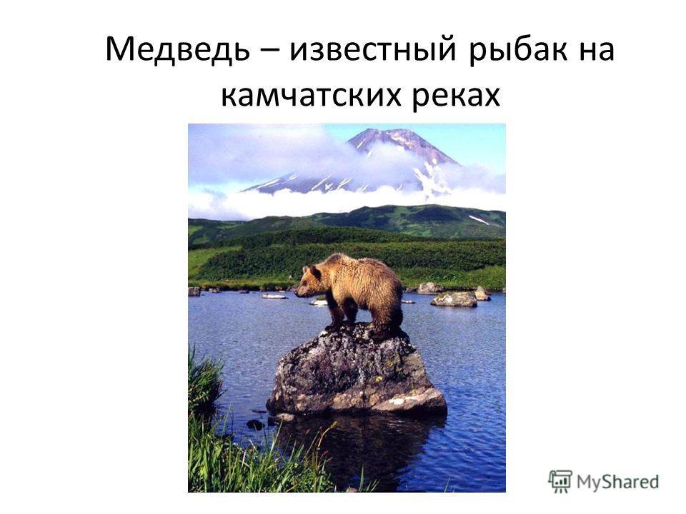 Медведь – известный рыбак на камчатских реках
