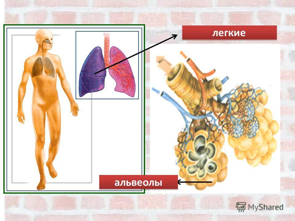 легкие альвеолы