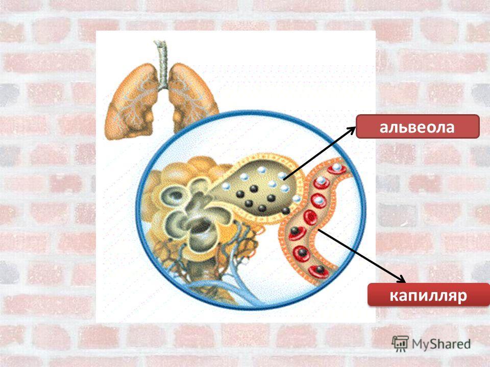 альвеола капилляр капилляр
