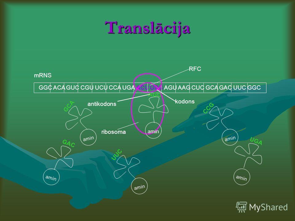 Translācija GGC ACA GUC CGU UCU CCA UGA ACU UCG AGU AAG CUC GCA GAC UUC GGC GCA GAC UUC AGC CCG UGA amin RFC kodons antikodons mRNS ribosoma