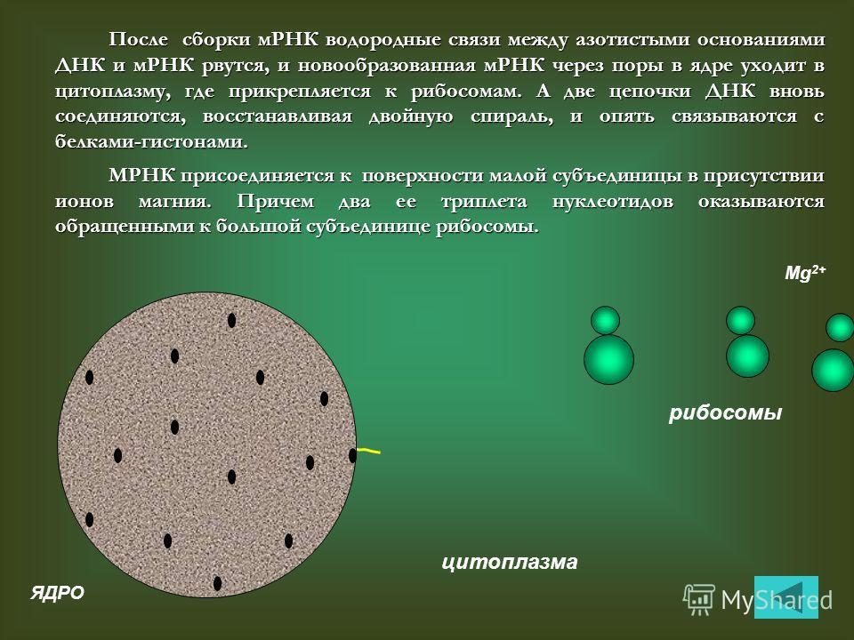мРНК После сборки мРНК водородные связи между азотистыми основаниями ДНК и мРНК рвутся, и новообразованная мРНК через поры в ядре уходит в цитоплазму, где прикрепляется к рибосомам. А две цепочки ДНК вновь соединяются, восстанавливая двойную спираль,