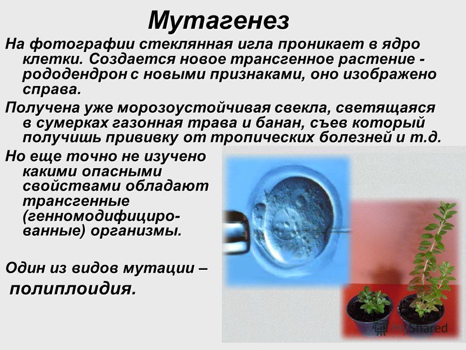 Мутагенез На фотографии стеклянная игла проникает в ядро клетки. Создается новое трансгенное растение - рододендрон с новыми признаками, оно изображено справа. Получена уже морозоустойчивая свекла, светящаяся в сумерках газонная трава и банан, съев к