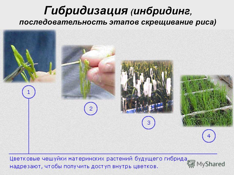 Гибридизация ( инбридинг, последовательность этапов скрещивание риса)