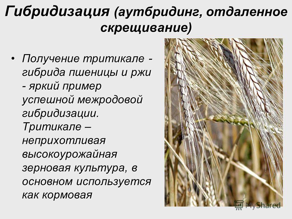 Гибридизация (аутбридинг, отдаленное скрещивание) Получение тритикале - гибрида пшеницы и ржи - яркий пример успешной межродовой гибридизации. Тритикале – неприхотливая высокоурожайная зерновая культура, в основном используется как кормоваяПолучение