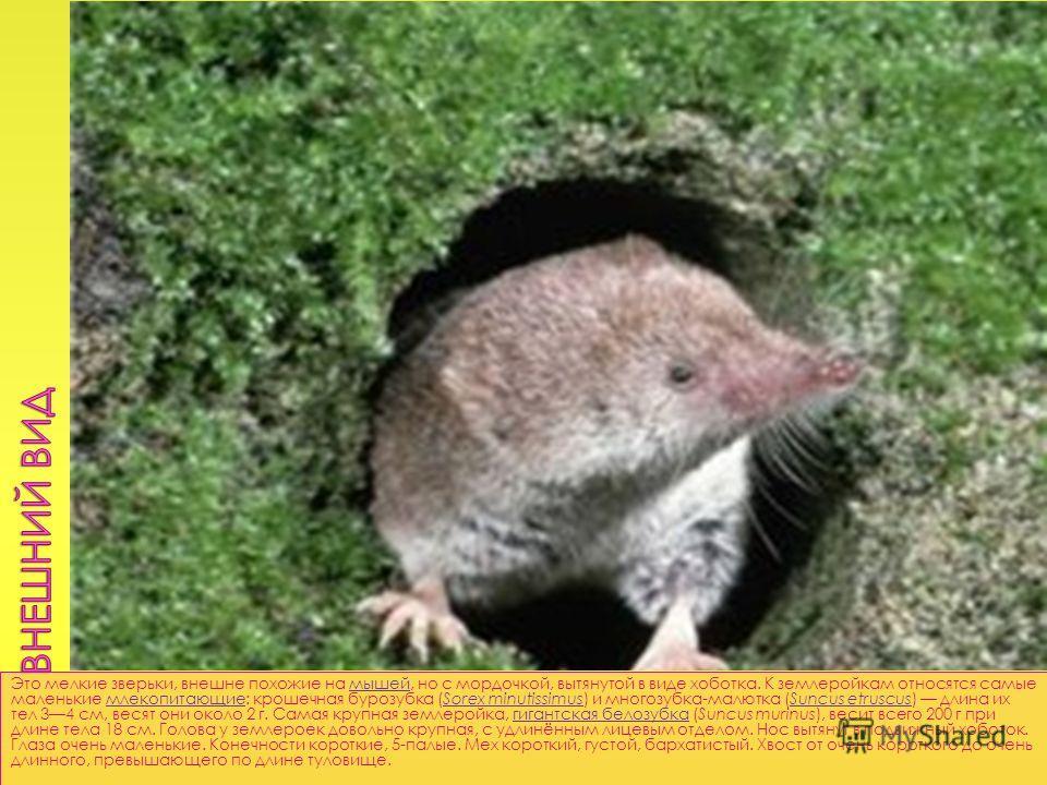 Это мелкие зверьки, внешне похожие на мышей, но с мордочкой, вытянутой в виде хоботка. К землеройкам относятся самые маленькие млекопитающие: крошечная бурозубка (Sorex minutissimus) и многозубка-малютка (Suncus etruscus) длина их тел 34 см, весят он