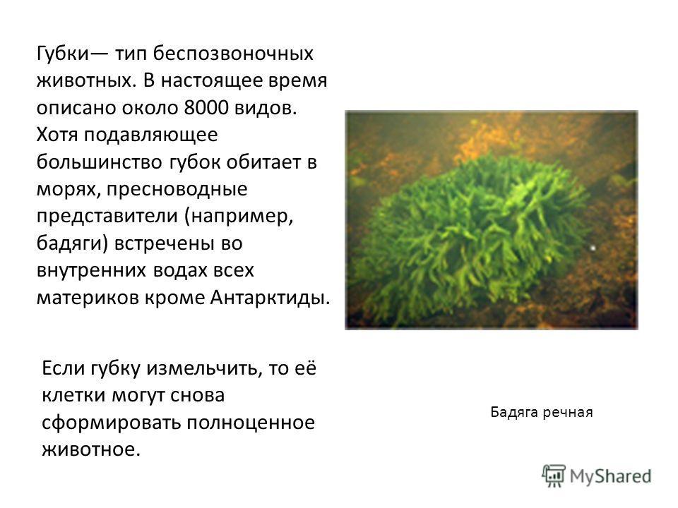 Губки тип беcпозвоночных животных. В настоящее время описано около 8000 видов. Хотя подавляющее большинство губок обитает в морях, пресноводные представители (например, бадяги) встречены во внутренних водах всех материков кроме Антарктиды. Если губку