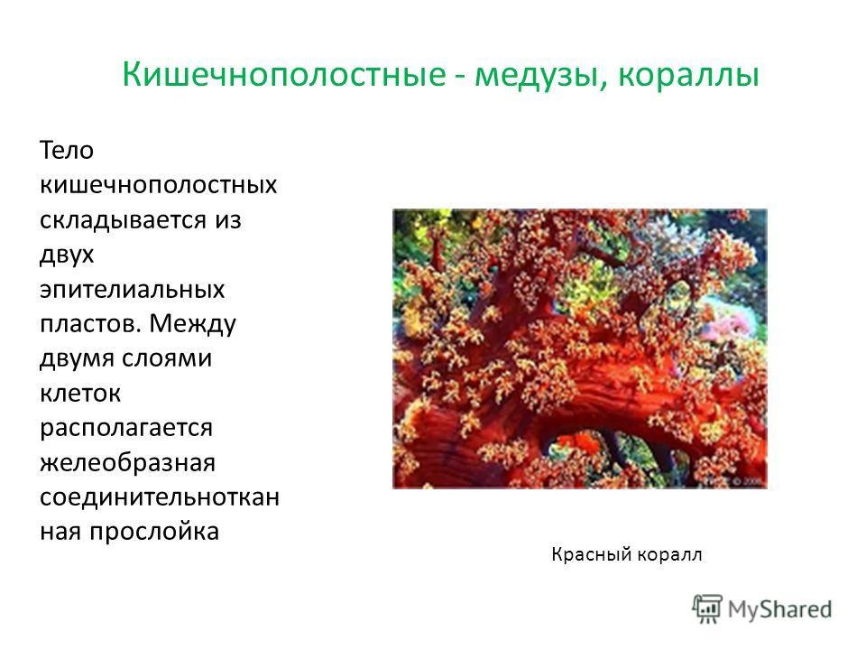Тело кишечнополостных складывается из двух эпителиальных пластов. Между двумя слоями клеток располагается желеобразная соединительноткан ная прослойка Кишечнополостные - медузы, кораллы Красный коралл
