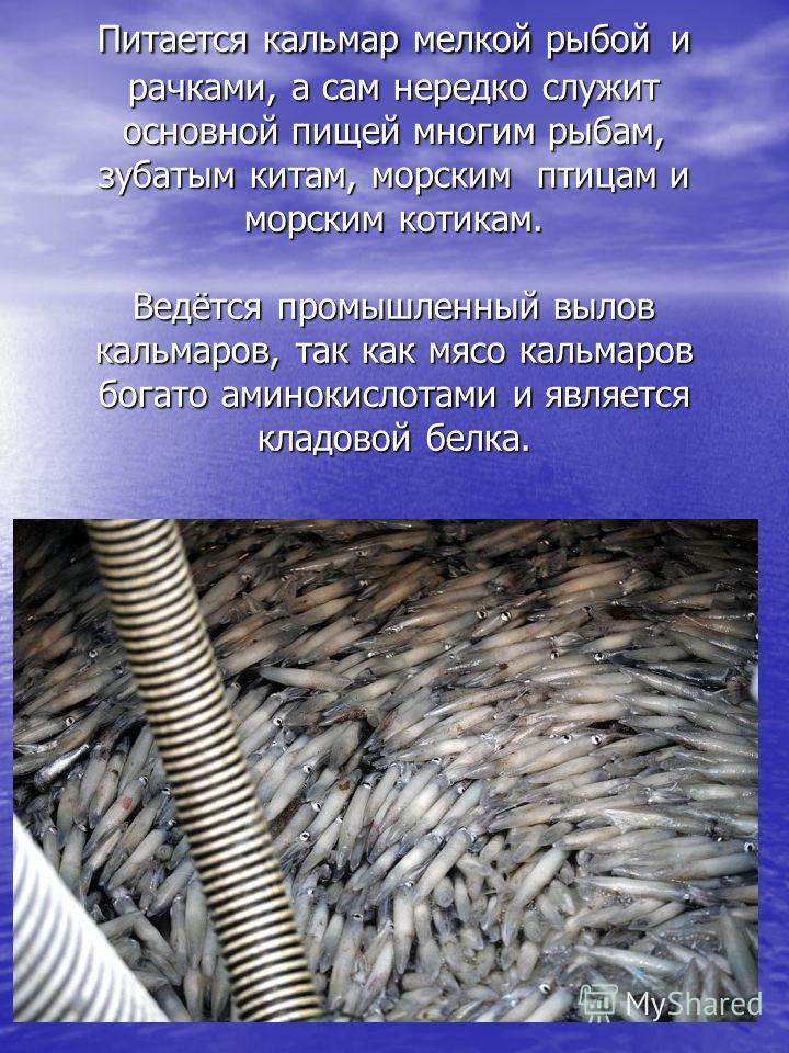 Питается кальмар мелкой рыбой и рачками, а сам нередко служит основной пищей многим рыбам, зубатым китам, морским птицам и морским котикам. Ведётся промышленный вылов кальмаров, так как мясо кальмаров богато аминокислотами и является кладовой белка.