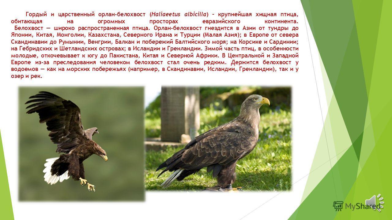 Гордый и царственный орлан-белохвост (Haliaeetus albicilla) – крупнейшая хищная птица, обитающая на огромных просторах евразийского континента. Белохвост широко распространенная птица. Орлан-белохвост гнездится в Азии от тундры до Японии, Китая, Монг