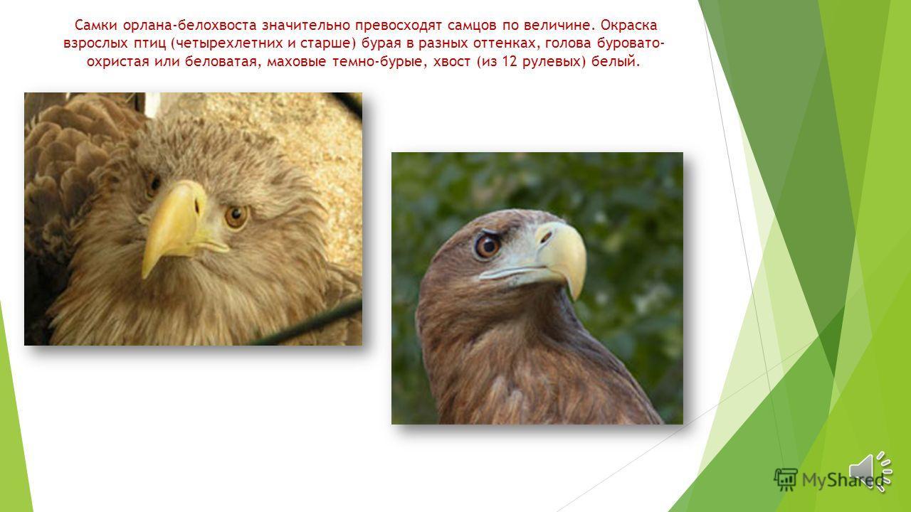 Самки орлана-белохвоста значительно превосходят самцов по величине. Окраска взрослых птиц (четырехлетних и старше) бурая в разных оттенках, голова буровато- охристая или беловатая, маховые темно-бурые, хвост (из 12 рулевых) белый.
