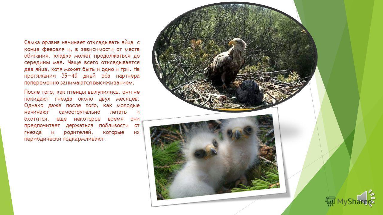 Самка орлана начинает откладывать яйца с конца февраля и, в зависимости от места обитания, кладка может продолжаться до середины мая. Чаще всего откладывается два яйца, хотя может быть и одно и три. На протяжении 3540 дней оба партнера попеременно за