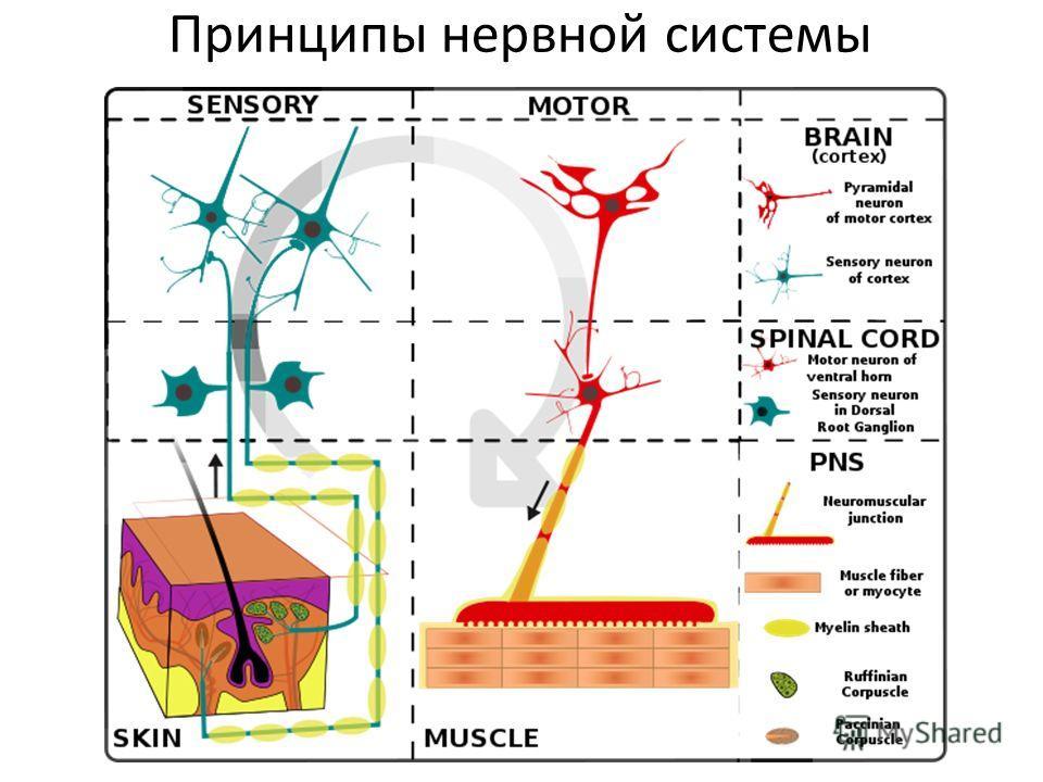 Принципы нервной системы