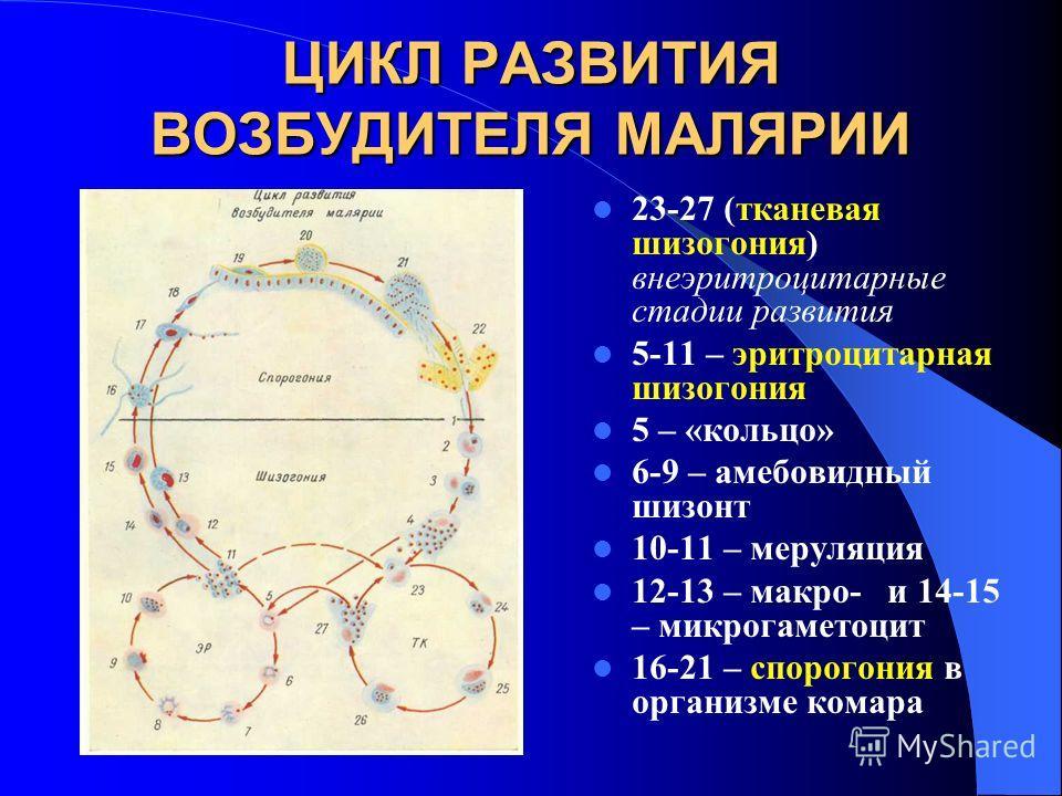 ЦИКЛ РАЗВИТИЯ ВОЗБУДИТЕЛЯ МАЛЯРИИ 23-27 (тканевая шизогония) внеэритроцитарные стадии развития 5-11 – эритроцитарная шизогония 5 – «кольцо» 6-9 – амебовидный шизонт 10-11 – меруляция 12-13 – макро- и 14-15 – микрогаметоцит 16-21 – спорогония в органи