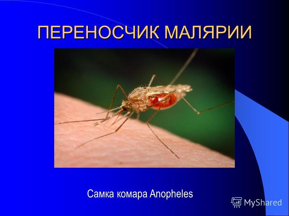 ПЕРЕНОСЧИК МАЛЯРИИ Самка комара Anopheles