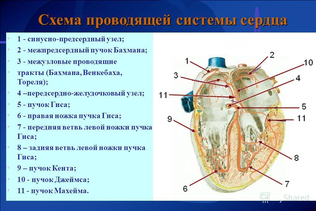 1 - синусно-предсердный узел; 2 - межпредсердный пучок Бахмана; 3 - межузловые проводящие тракты (Бахмана, Венкебаха, Тореля); 4 –передсердно-желудочковый узел; 5 - пучок Гиса; 6 - правая ножка пучка Гиса; 7 - передняя ветвь левой ножки пучка Гиса; 8