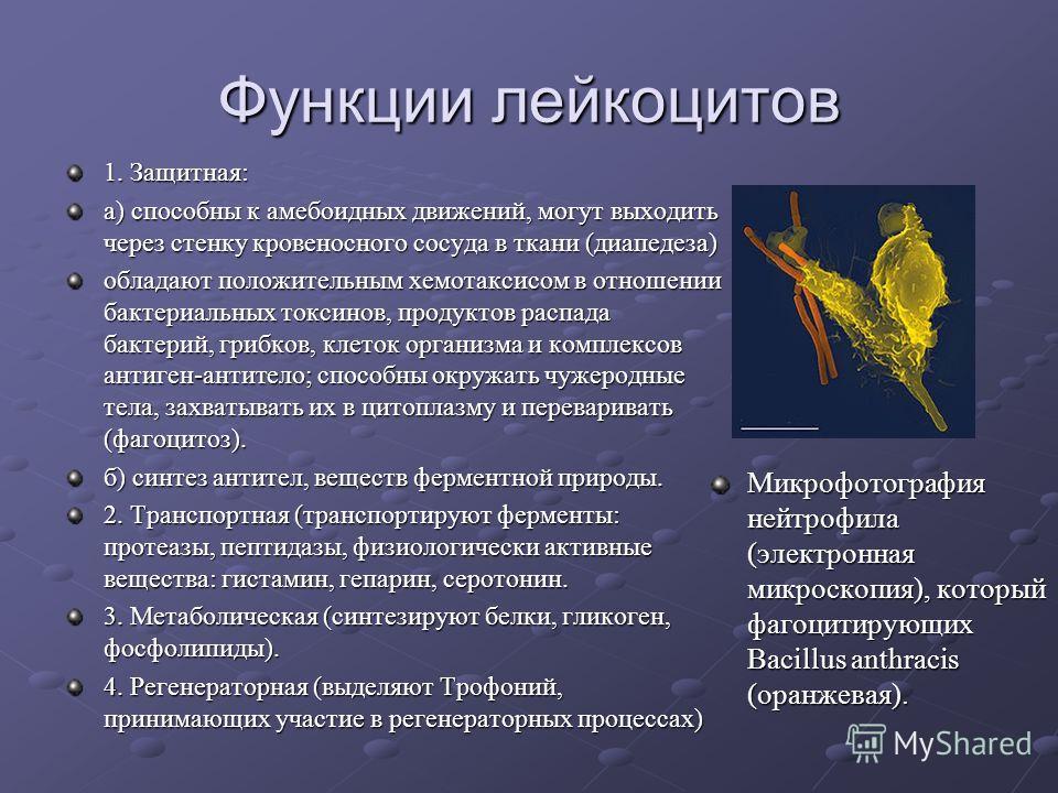 Функции лейкоцитов 1. Защитная: а) способны к амебоидных движений, могут выходить через стенку кровеносного сосуда в ткани (диапедеза) обладают положительным хемотаксисом в отношении бактериальных токсинов, продуктов распада бактерий, грибков, клеток