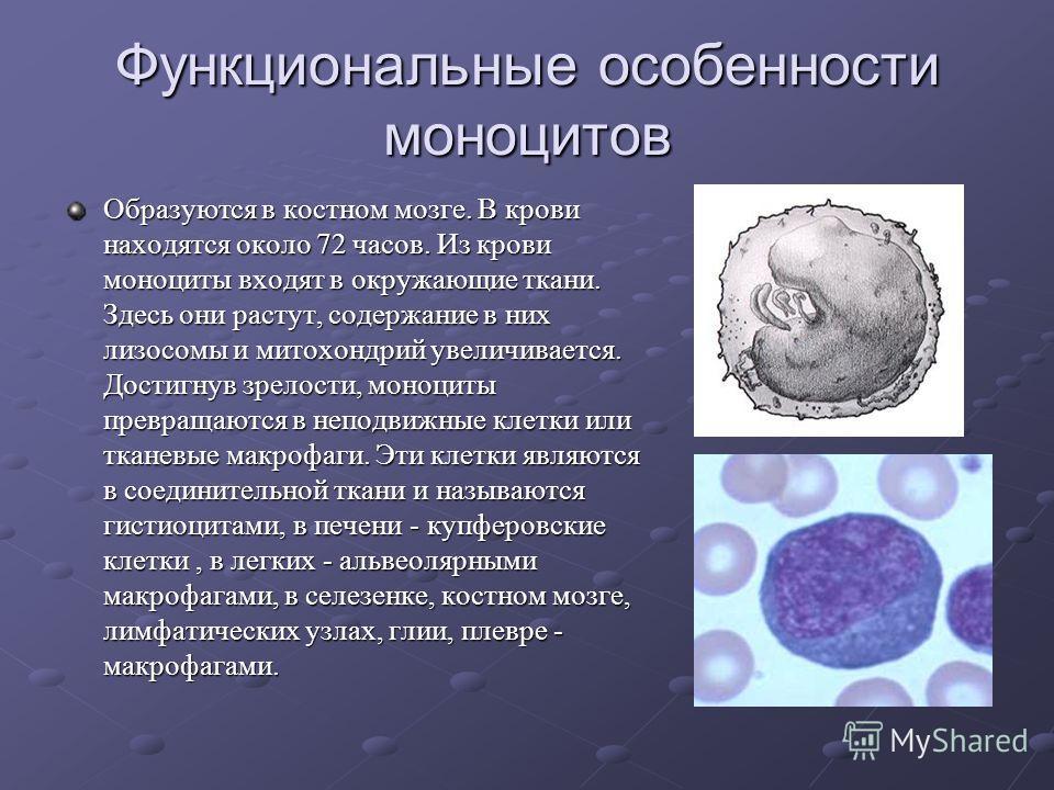 Функциональные особенности моноцитов Образуются в костном мозге. В крови находятся около 72 часов. Из крови моноциты входят в окружающие ткани. Здесь они растут, содержание в них лизосомы и митохондрий увеличивается. Достигнув зрелости, моноциты прев