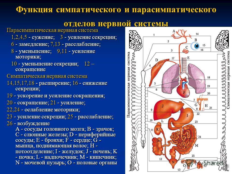 Функция симпатического и парасимпатического отделов нервной системы Парасимпатическая нервная система 1,2,4,5 - сужение; 3 - усиление секреции; 1,2,4,5 - сужение; 3 - усиление секреции; 6 - замедление; 7,13 - расслабление; 6 - замедление; 7,13 - расс