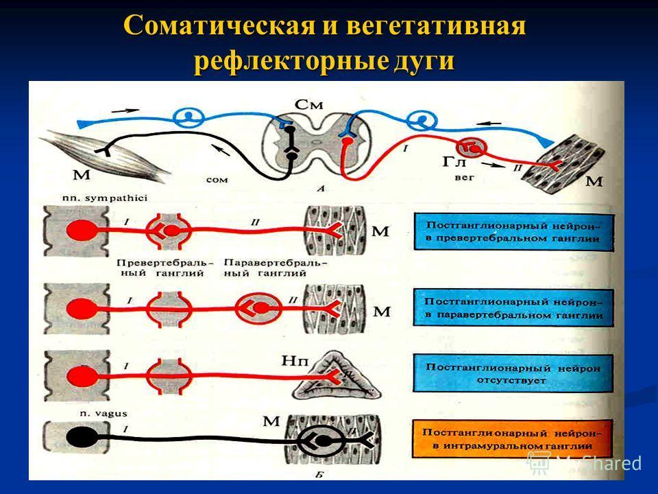 Соматическая и вегетативная рефлекторные дуги