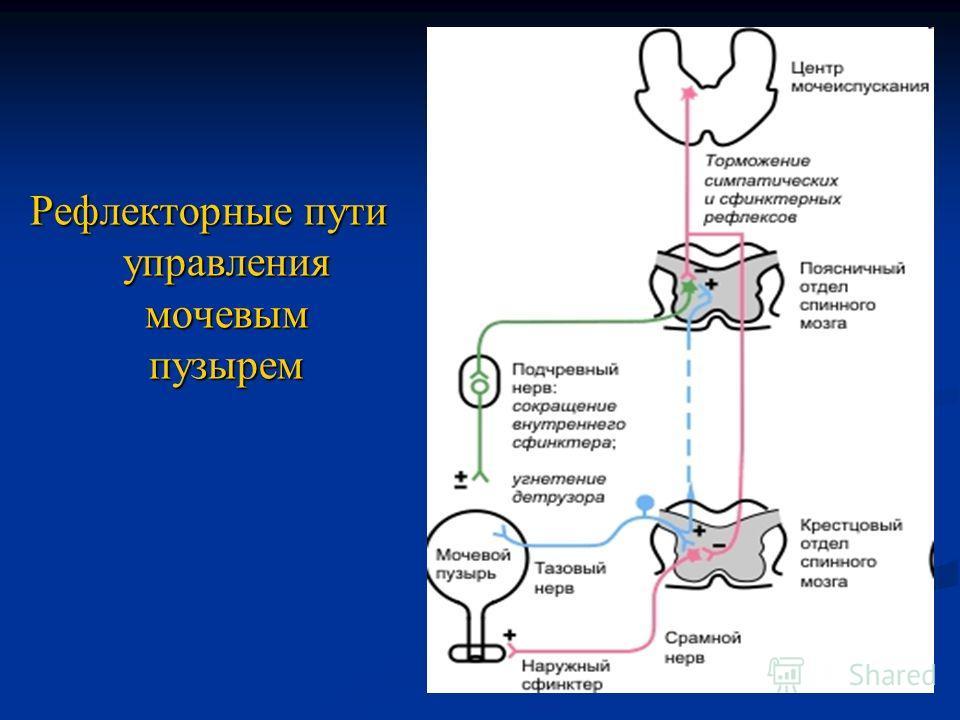 Рефлекторные пути управления мочевым пузырем