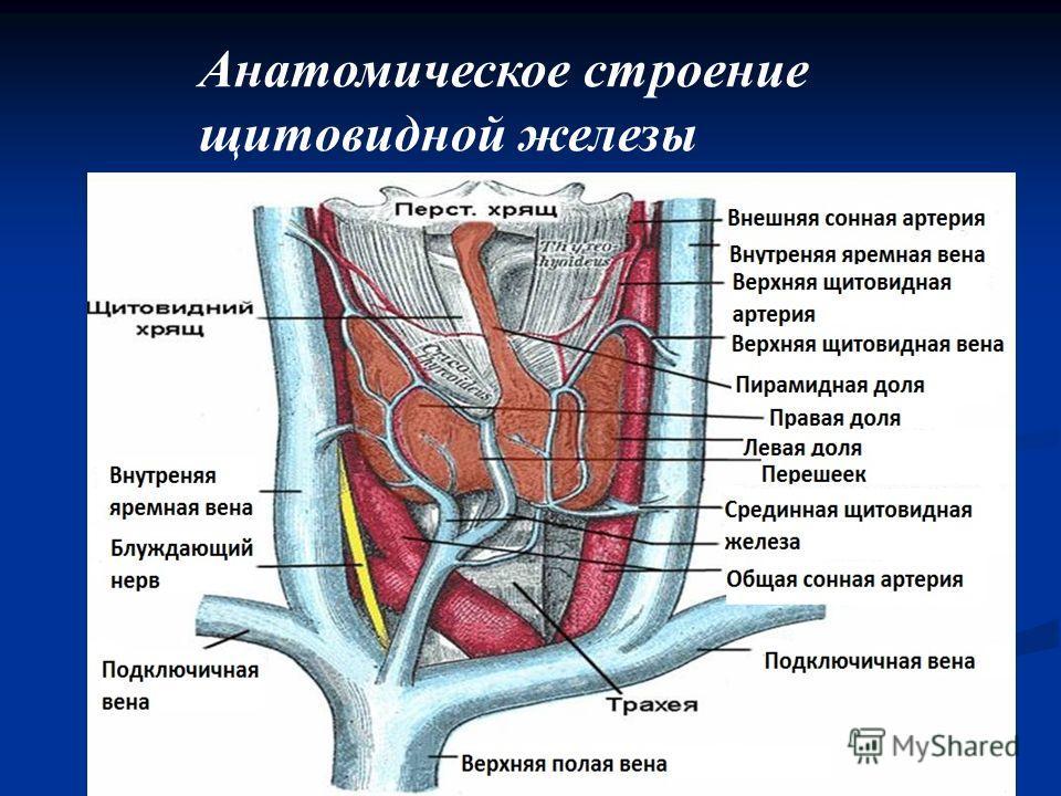Анатомическое строение щитовидной железы