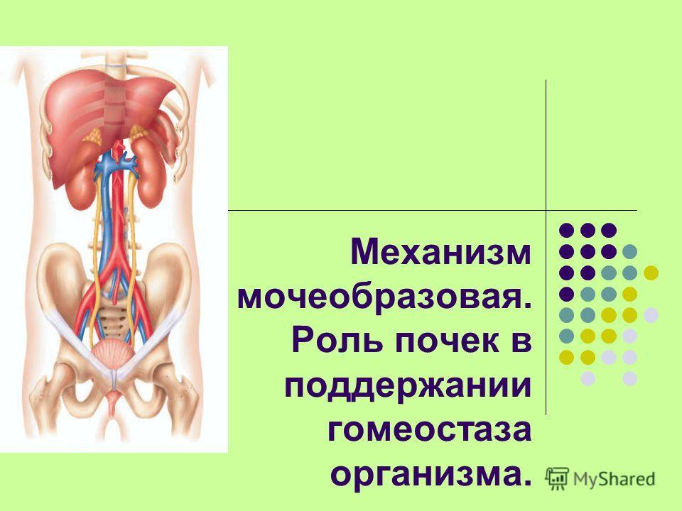 Механизм мочеобразовая. Роль почек в поддержании гомеостаза организма.