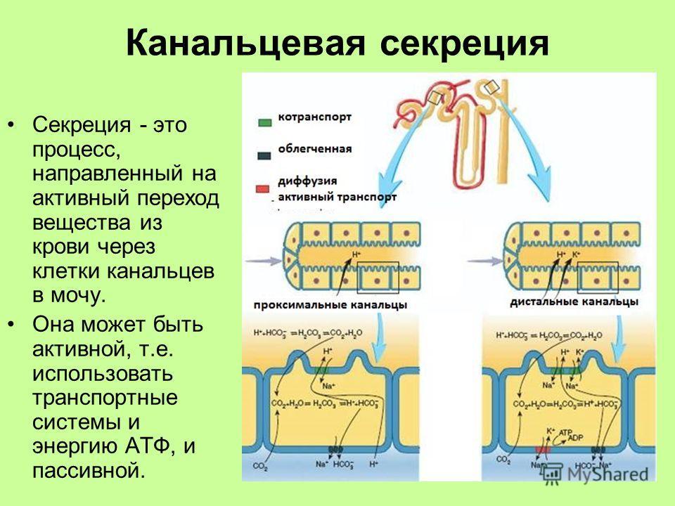 Канальцевая секреция Секреция - это процесс, направленный на активный переход вещества из крови через клетки канальцев в мочу. Она может быть активной, т.е. использовать транспортные системы и энергию АТФ, и пассивной.