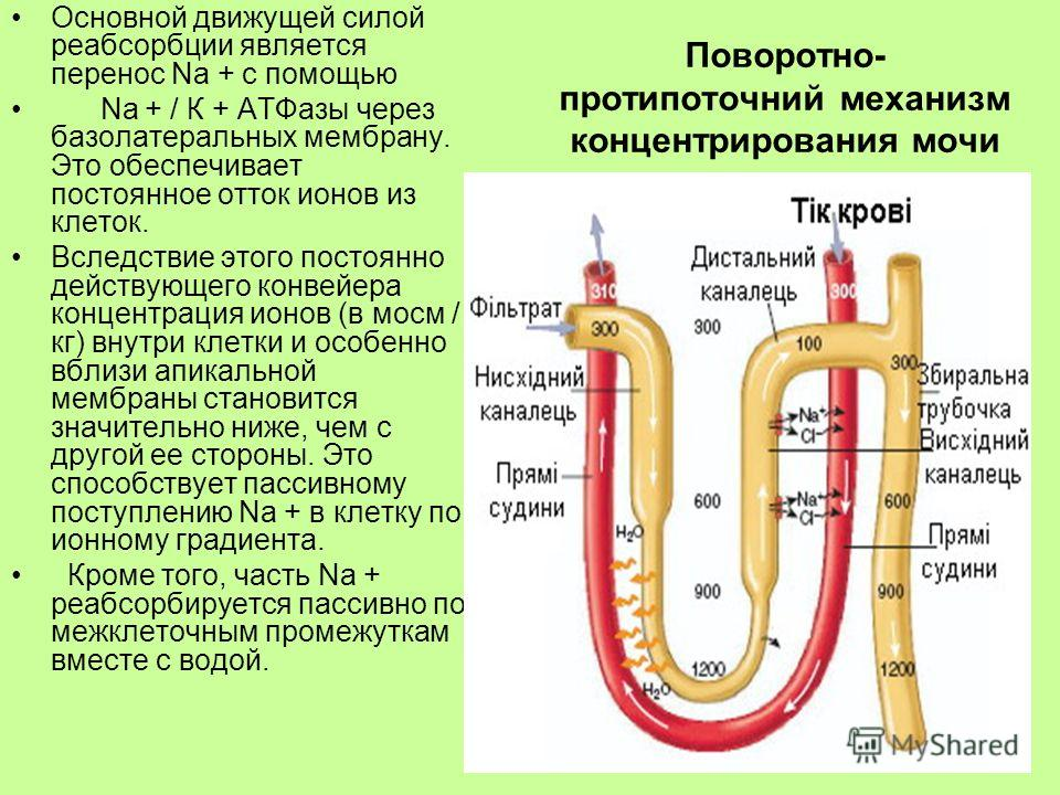Поворотно- протипоточний механизм концентрирования мочи Основной движущей силой реабсорбции является перенос Na + с помощью Na + / К + АТФазы через базолатеральных мембрану. Это обеспечивает постоянное отток ионов из клеток. Вследствие этого постоянн