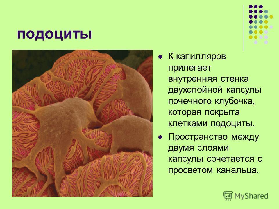подоциты К капилляров прилегает внутренняя стенка двухслойной капсулы почечного клубочка, которая покрыта клетками подоциты. Пространство между двумя слоями капсулы сочетается с просветом канальца.