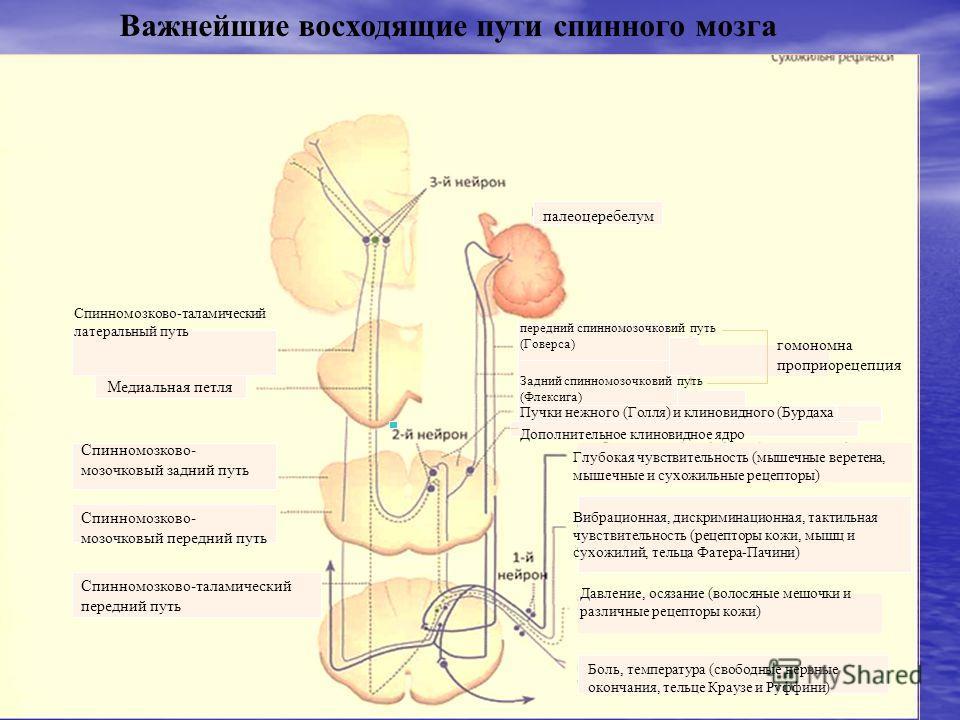 Важнейшие восходящие пути спинного мозга Спинномозково-таламический латеральный путь Медиальная петля Спинномозково- мозочковый задний путь Спинномозково- мозочковый передний путь Спинномозково-таламический передний путь палеоцеребелум передний спинн