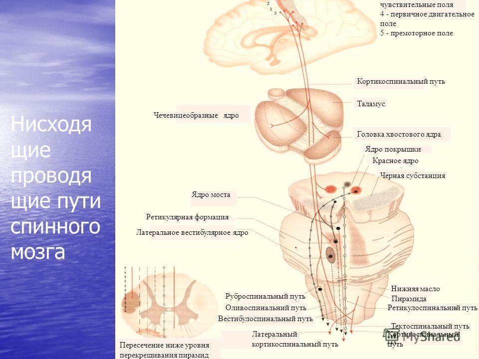 Нисходя щие проводя щие пути спинного мозга Чечевицеобразные ядро Ядро моста Ретикулярная формация Латеральное вестибулярное ядро Пересечение ниже уровня перекрещивания пирамид Кортикоспинальный путь Таламус Головка хвостового ядра Ядро покрышки Крас