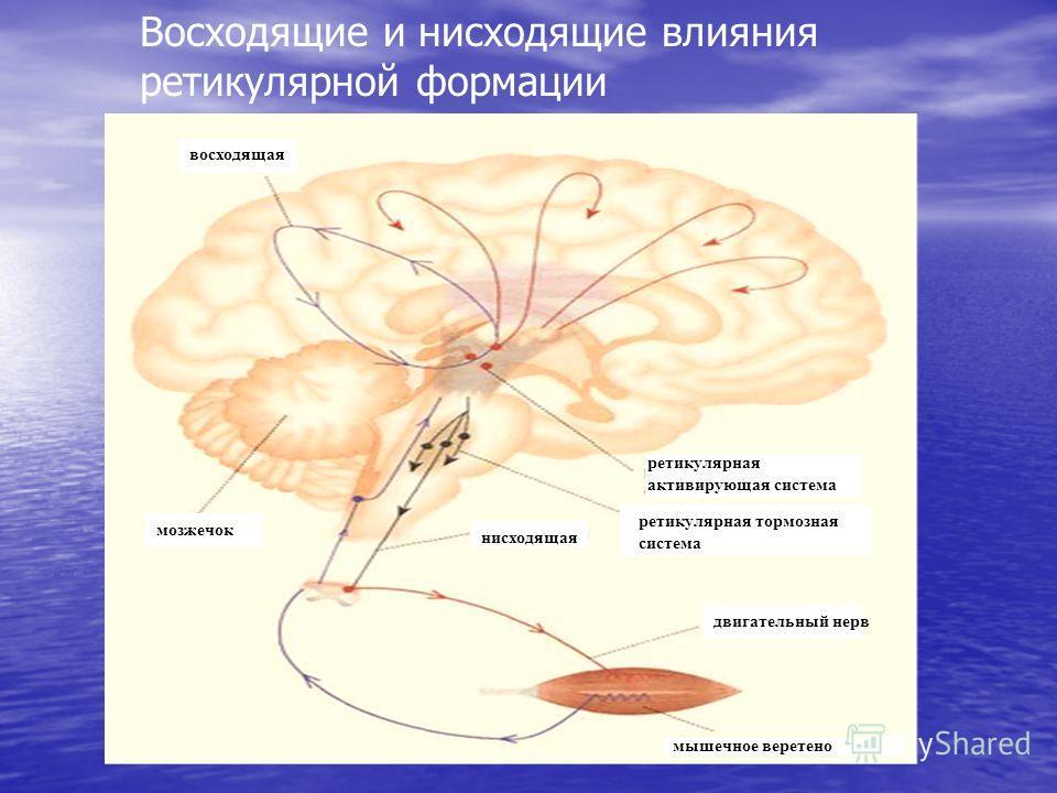 Восходящие и нисходящие влияния ретикулярной формации мышечное веретено двигательный нерв нисходящая ретикулярная тормозная система ретикулярная активирующая система мозжечок восходящая