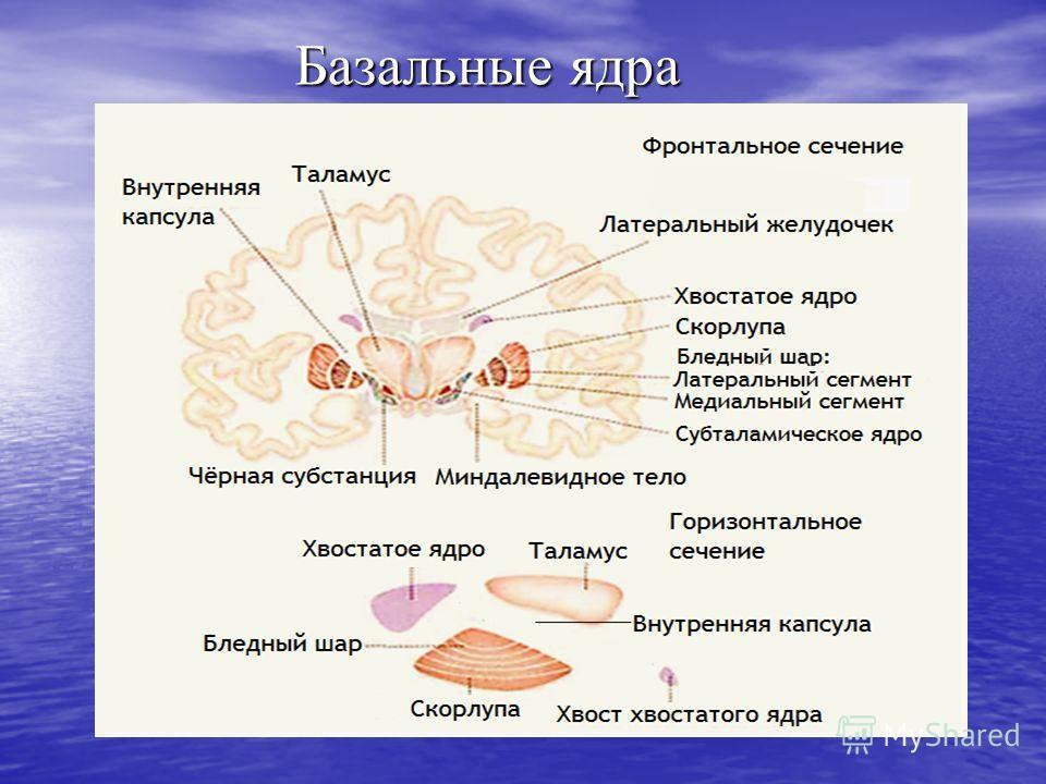 Базальные ядра
